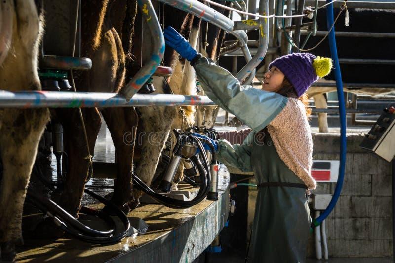 Kvinna som arbetar med automatiserad mekaniserad mjölka utrustning arkivfoto