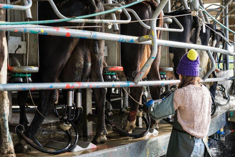 Kvinna som arbetar med automatiserad mekaniserad mjölka utrustning arkivbild