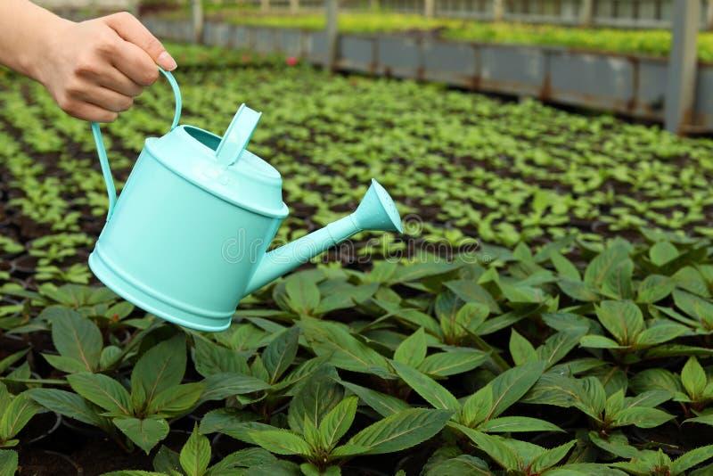 Kvinna som bevattnar nya växande plantor i växthuset, closeup fotografering för bildbyråer