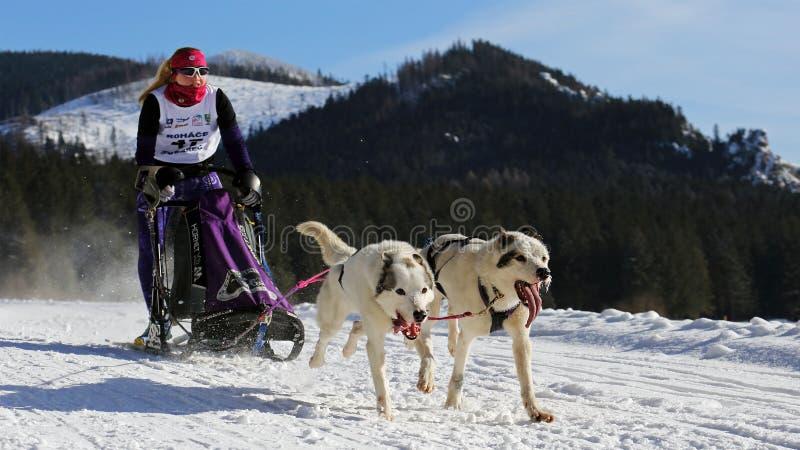 Kvinna som deltar i på det sledding loppet för hund under vintertid, Zuberec Slovakien royaltyfri foto