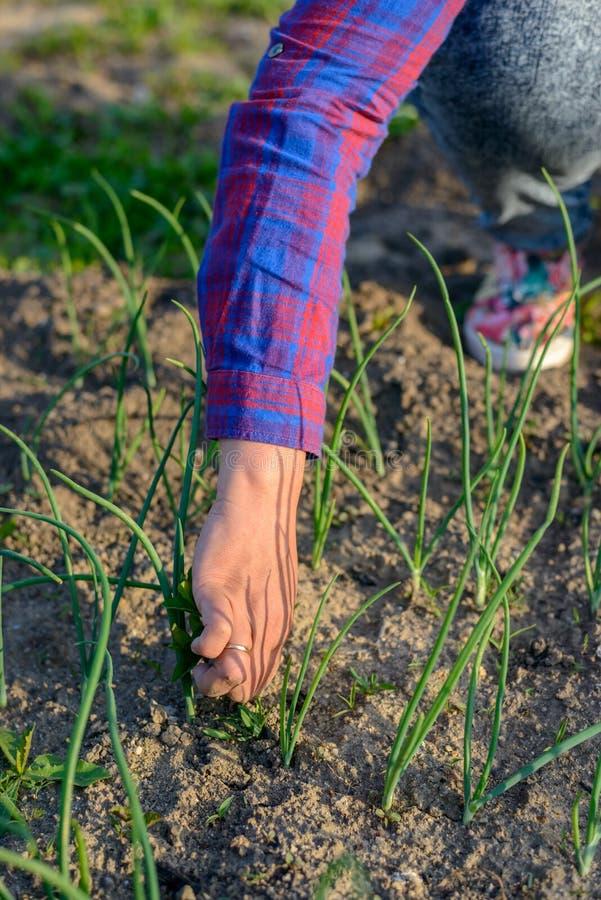 Kvinna som drar ogräs i hennes grönsakträdgård royaltyfri bild