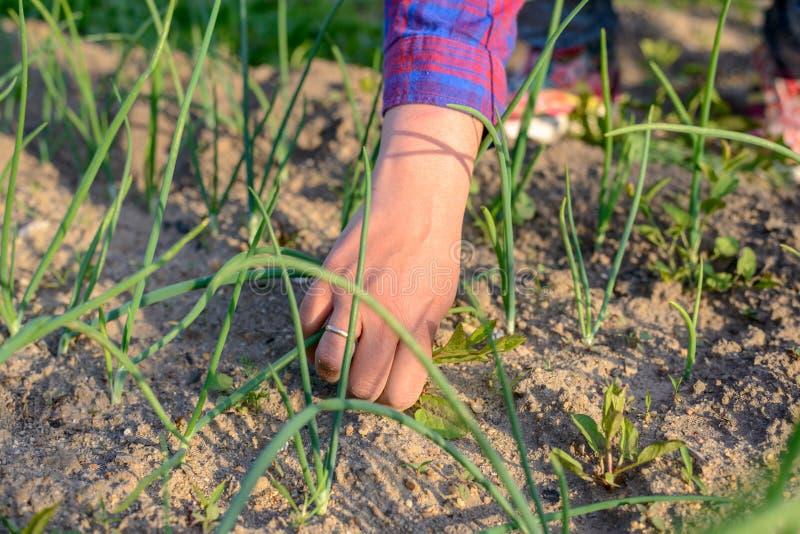 Kvinna som drar ogräs i hennes grönsakträdgård arkivbilder