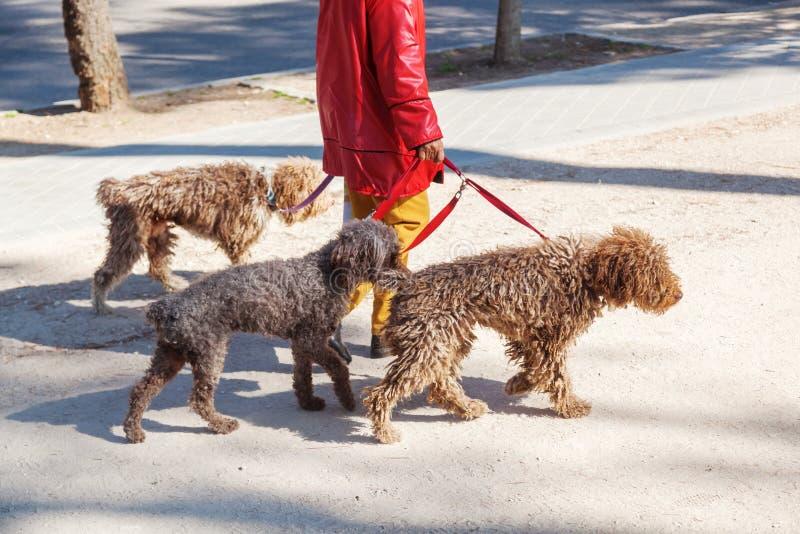 Kvinna som går tre hundkapplöpning royaltyfri fotografi