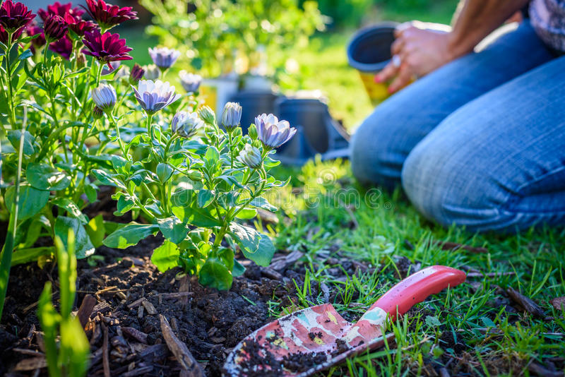 Kvinna som planterar blommor i trädgård royaltyfria bilder