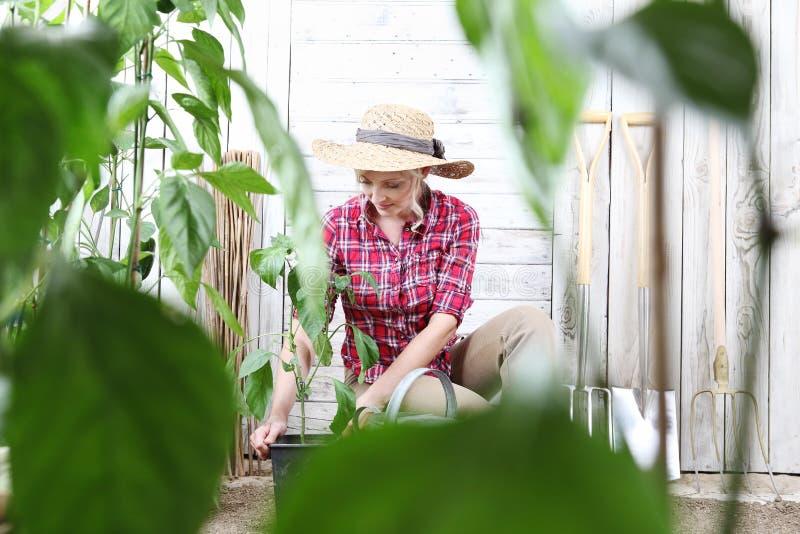 Kvinna som planterar gröna växter i grönsakträdgård, från krukastället i jordningen, arbete för tillväxt royaltyfria foton