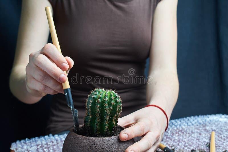 kvinna som repotting den Pachypodium kaktuns till den nya krukan arkivbild