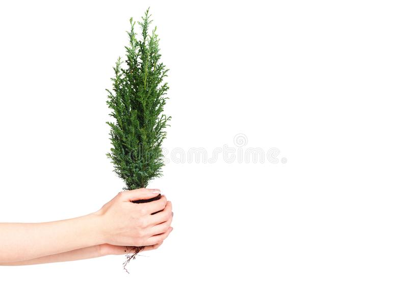 Kvinna som rymmer en cypressplanta med jord i hans händer Jorddag April 22 Räddning världen Miljö- växt royaltyfria bilder