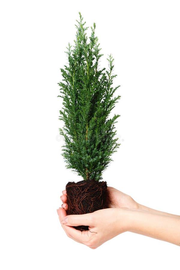 Kvinna som rymmer en cypressplanta med jord i hans händer Jorddag April 22 Räddning världen Miljö- växt arkivbild