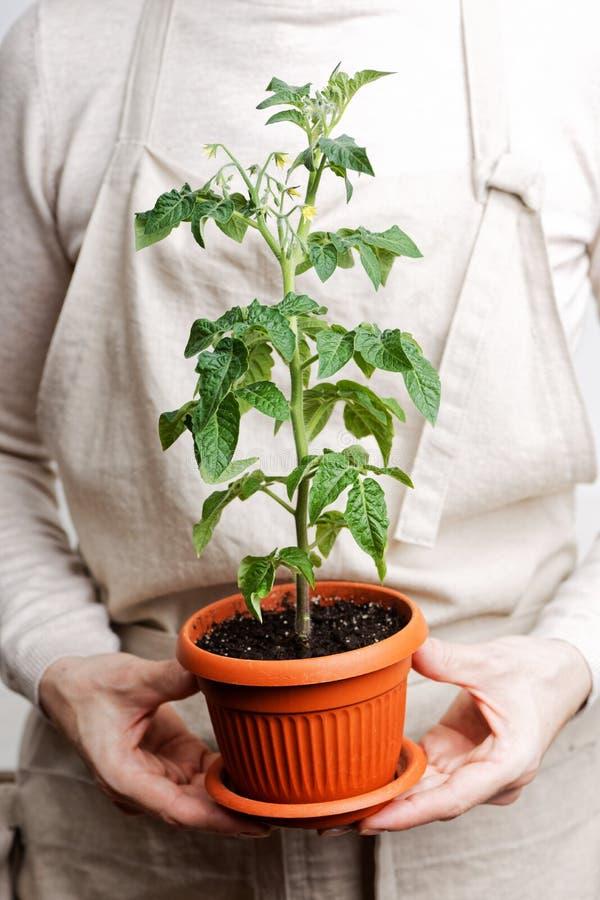 Kvinna som rymmer en kruka med tomatplantor arkivbild