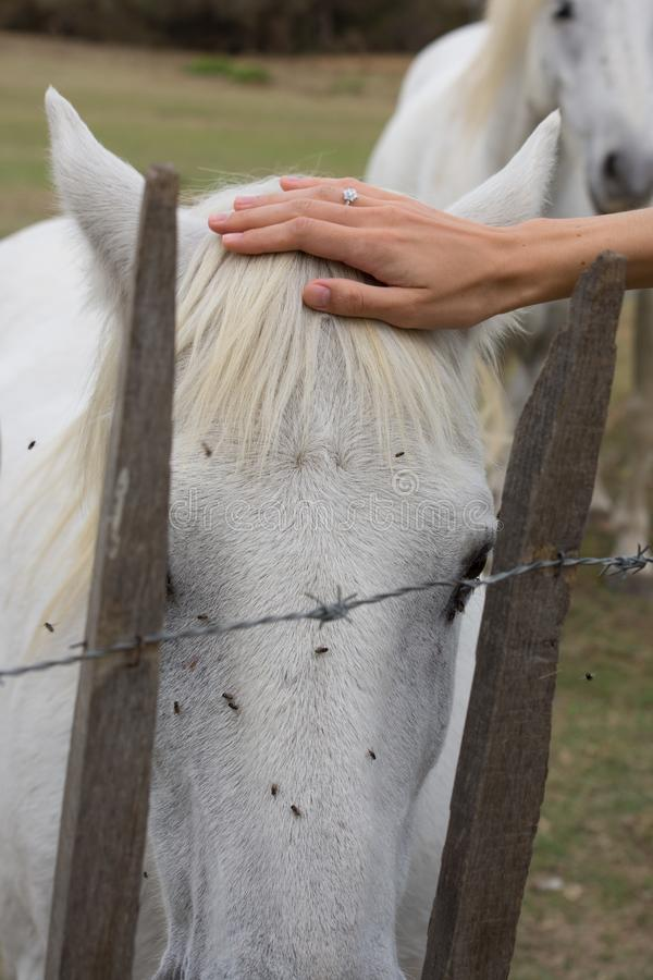 Kvinna som slår ett huvud för ` s för vit häst arkivfoton