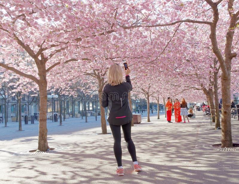 Kvinna som tar en bild av den härliga rosa körsbärsröda blom royaltyfria foton