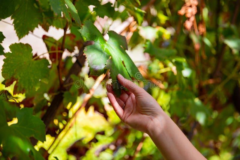 Kvinna som trycker på bladet från växten för vindruva på vingården royaltyfri foto