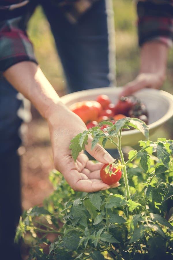 Kvinna som väljer nya tomater från trädgården arkivbild