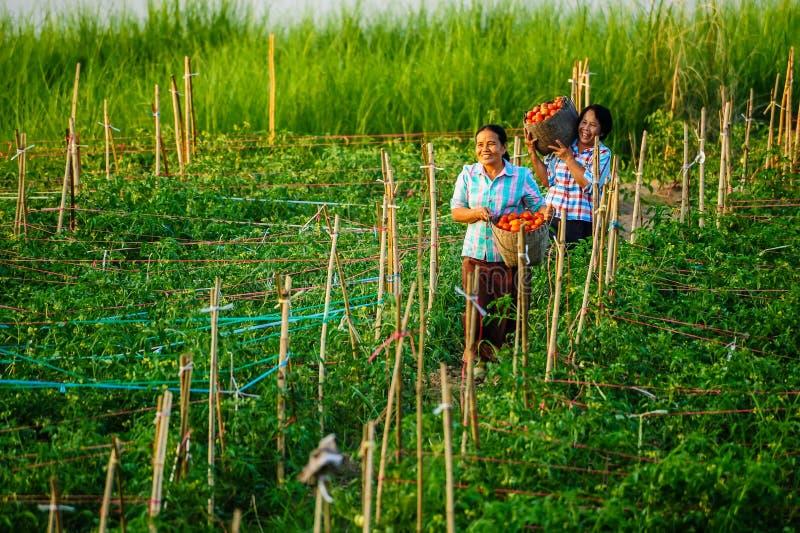 Kvinnabönder som rymmer korgar av tomater, når att ha skördat royaltyfri foto
