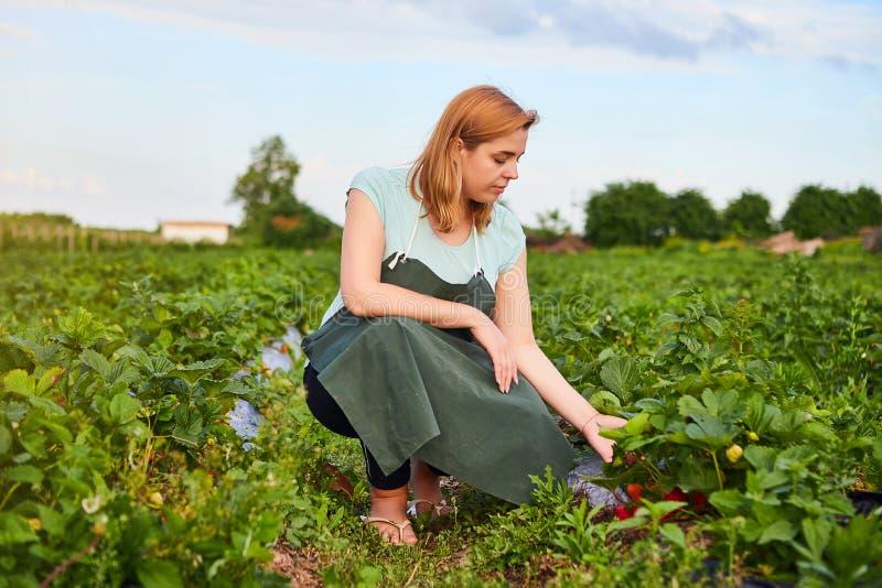 Kvinnabonde som arbetar i ett jordgubbefält Arbetaren väljer jordgubbar royaltyfria bilder