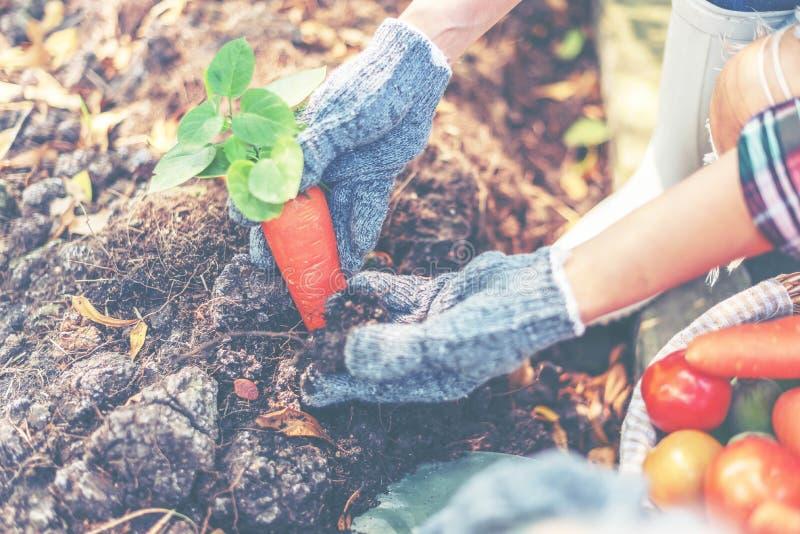 Kvinnabonden ordnar att växa en carrrot i trädgård Unga kvinnor växer organiska grönsaker royaltyfria foton