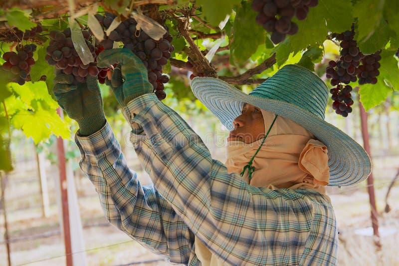 Kvinnabonden skördar druvor på kolonin i Nakhon Ratchasima, Thailand arkivfoto