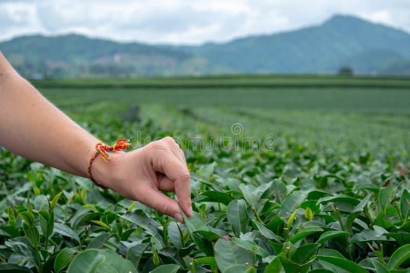 Kvinnafingrar som väljer nya oolongteblad i fokus på kullebakgrunden royaltyfri bild