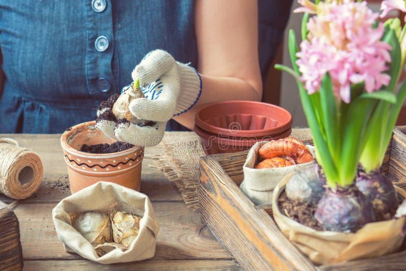 Kvinnahänder som planterar hyacinten royaltyfri bild