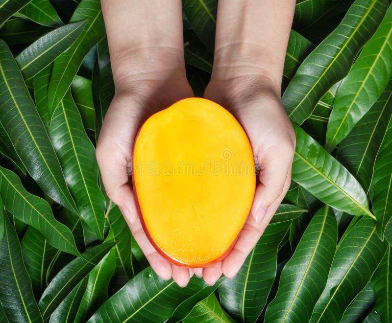 Kvinnahåll en ny saftig härlig mango för snitt över grön sidabakgrund Tropiskt skörddesignbegrepp, bästa sikt, slut upp, royaltyfri fotografi