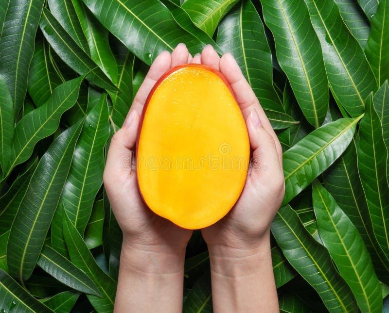 Kvinnahåll en ny saftig härlig mango för snitt över grön sidabakgrund Tropiskt skörddesignbegrepp, bästa sikt, slut upp, fotografering för bildbyråer
