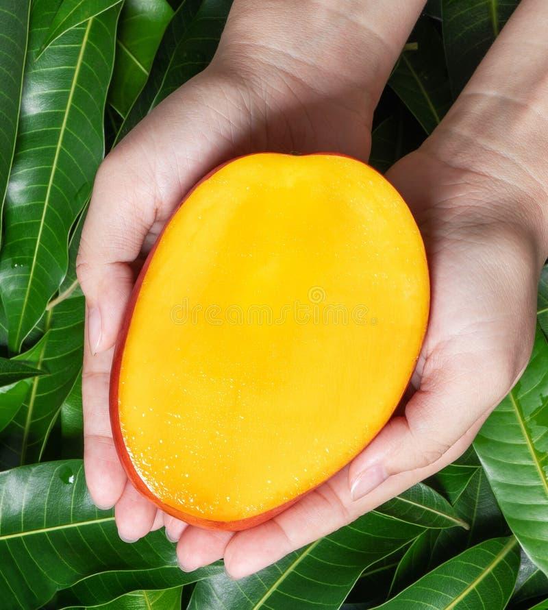 Kvinnahåll en ny saftig härlig mango för snitt över grön sidabakgrund Tropiskt skörddesignbegrepp, bästa sikt, slut upp, arkivfoton