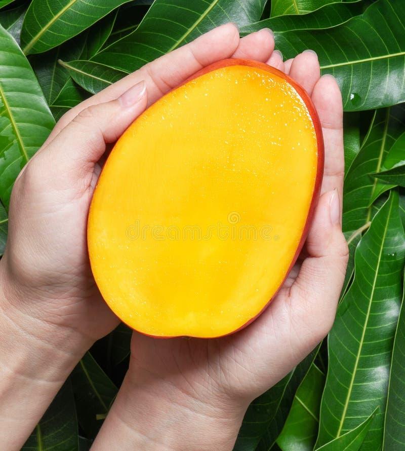 Kvinnahåll en ny saftig härlig mango för snitt över grön sidabakgrund Tropiskt skörddesignbegrepp, bästa sikt, slut upp, arkivbild