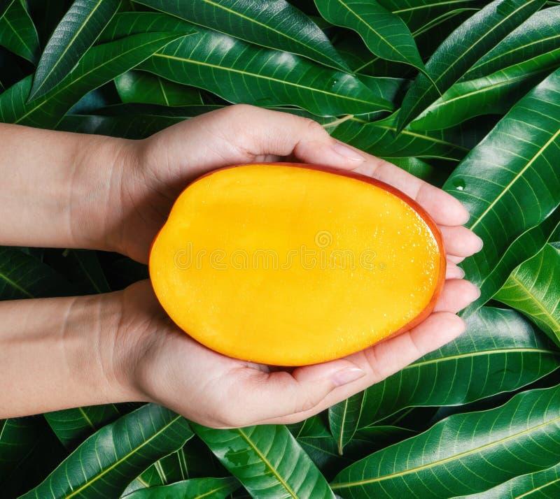 Kvinnahåll en ny saftig härlig mango för snitt över grön sidabakgrund Tropiskt skörddesignbegrepp, bästa sikt, slut upp, royaltyfri foto