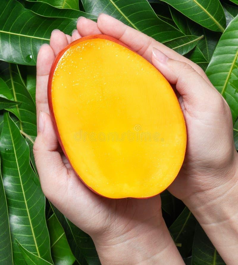 Kvinnahåll en ny saftig härlig mango för snitt över grön sidabakgrund Tropiskt skörddesignbegrepp, bästa sikt, slut upp, royaltyfria bilder