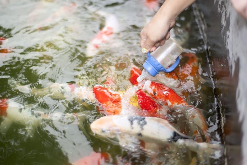 Kvinnahand som matar den färgrika karpfisken royaltyfri foto