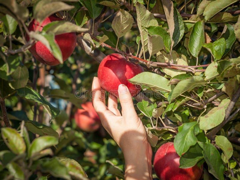Kvinnahand som väljer ett rött moget äpple från ett träd arkivbild