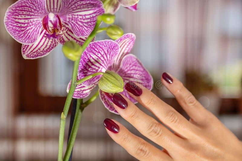Kvinnahanden med vinfärg spikar polermedel och den purpurfärgade orkidéblomman fotografering för bildbyråer