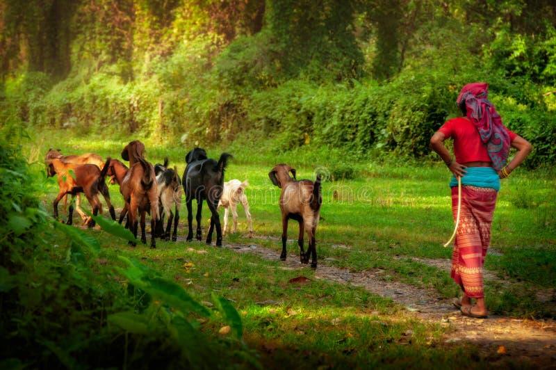 Kvinnaherde som går med getter i skog, Nepal, Asien arkivbild