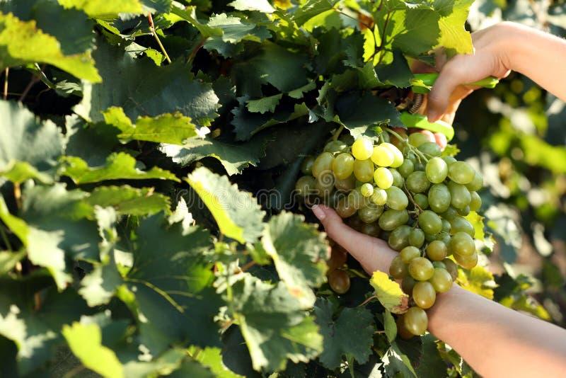 Kvinnaklippklunga av nya mogna saftiga druvor med pruner royaltyfri foto
