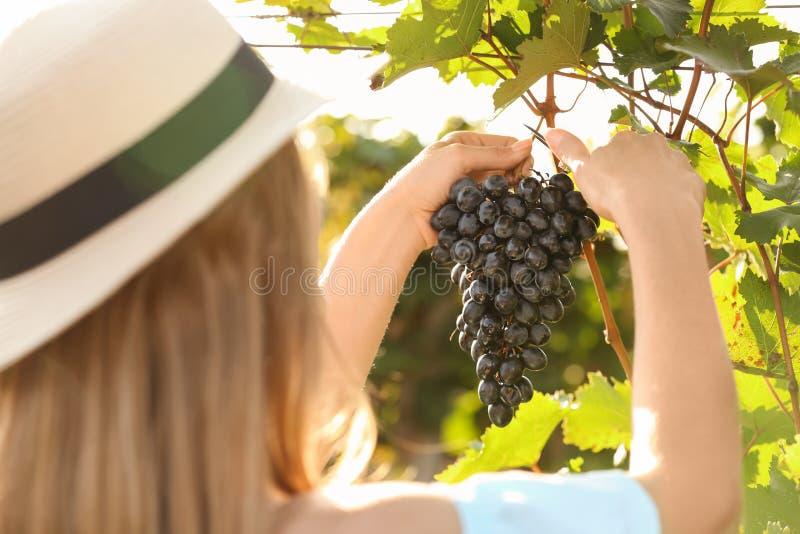 Kvinnaklippklunga av nya mogna saftiga druvor med pruner fotografering för bildbyråer