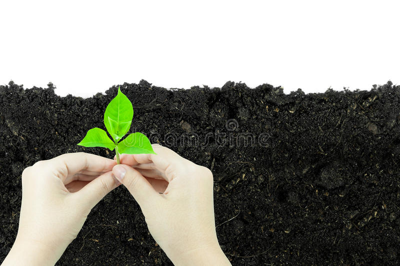 Kvinnan är den hållande grodden för den unga växten, som växer i en klumpa sig av jord som isoleras på en vit bakgrund arkivbild