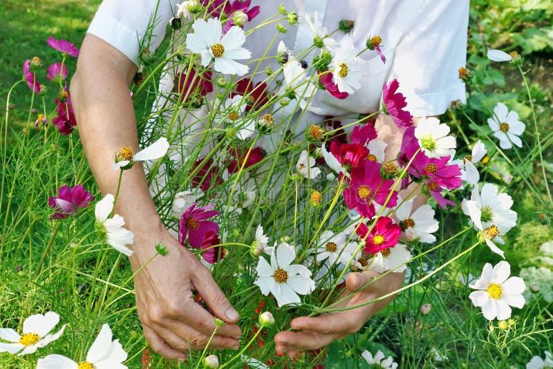 Kvinnan - bondehackor och omsorg av kosmosträdgården blommar på s arkivbild