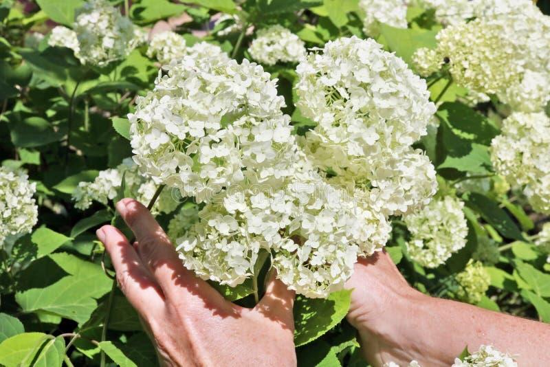 Kvinnan - bondeomsorg och hackor vita blommor för en vanlig hortensia royaltyfri fotografi