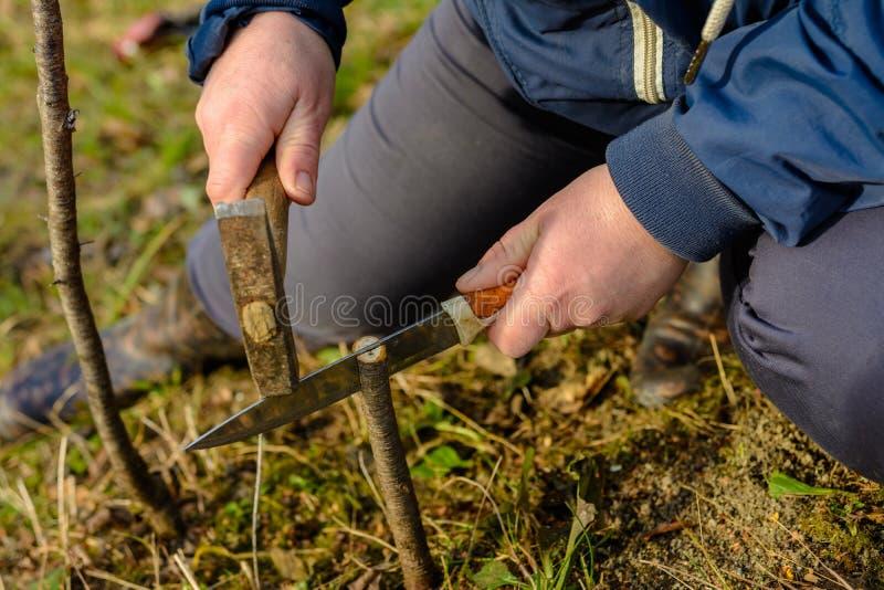 Kvinnan g?r en spricka i det nyligen klippta unga tr?det f?r hans vaccinering med en kniv och en hammare arkivfoton