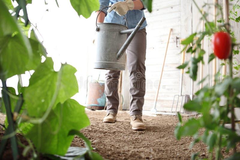 Kvinnan i grönsakträdgården med att bevattna kan, sund jordbruksprodukter för organisk mat royaltyfri foto