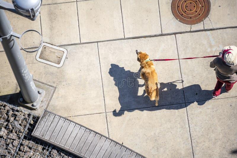 Kvinnan i hatt går den stora röda labradoren arkivbild
