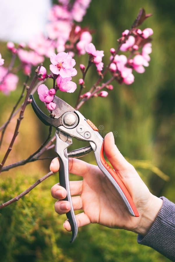 Kvinnan klippte en blommande filial av det körsbärsröda trädet med att beskära sax royaltyfria bilder