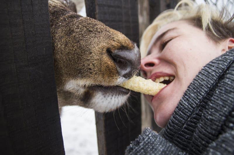 Kvinnan matar en hjort till och med staketet royaltyfria foton
