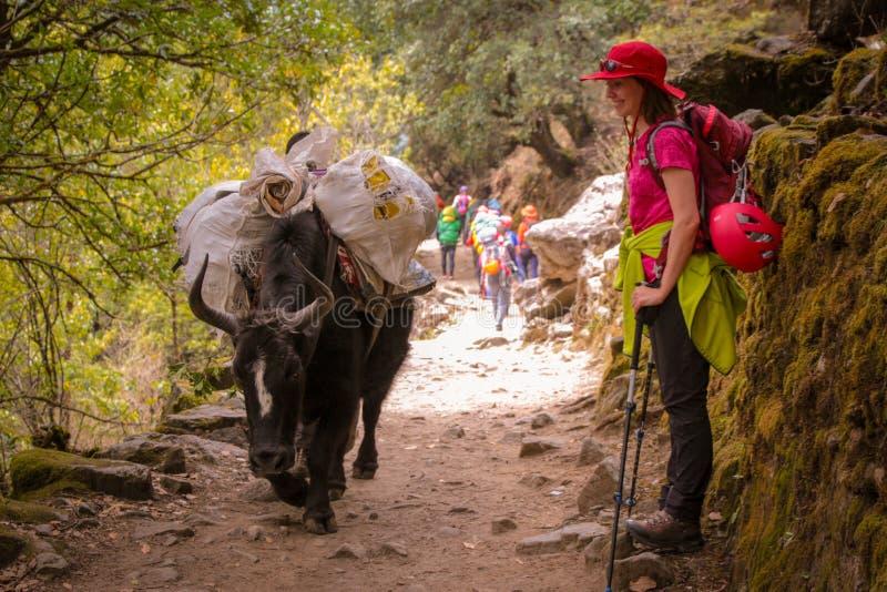 Kvinnan missa en svart packebuffel med den tunga påfyllningen på en bergslinga i Nepal royaltyfri bild
