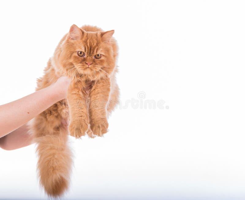 Kvinnan räcker håll den brittiska Longhair katten på den vita bakgrunden arkivfoto