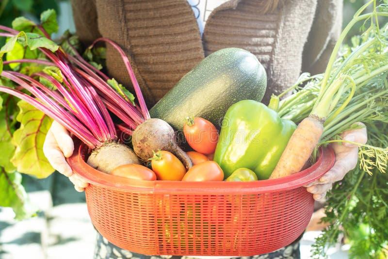 Kvinnan rymmer i hand en röd ask med grönsaker i en kökträdgård royaltyfria bilder