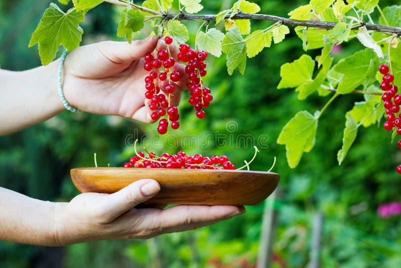 Kvinnan samlar den mogna röda vinbäret in i en träbunke arkivbild