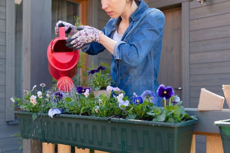 Kvinnan som bevattnar blommaväxten som använder rött bevattna kan i behållare på terrassbalkongträdgård royaltyfria foton