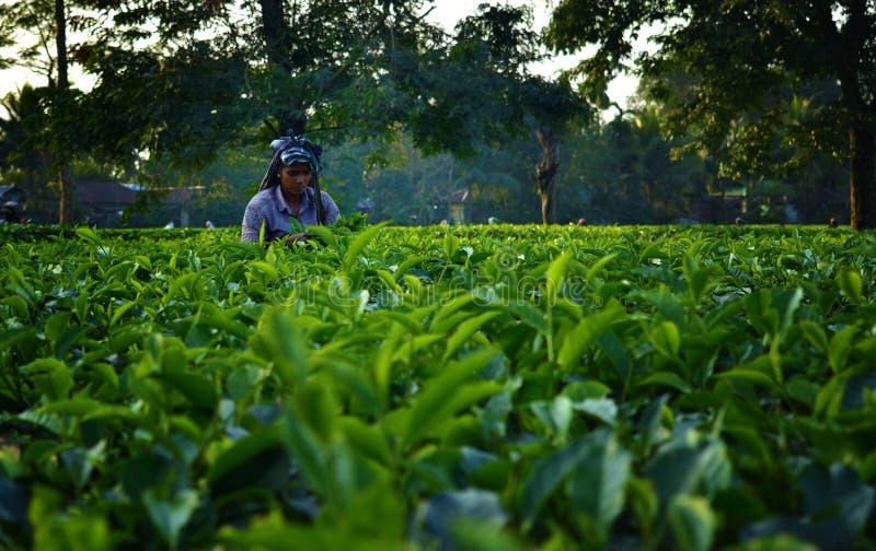 Kvinnan väljer upp teblad vid handen på teträdgården i Darjeeling, en av det bästa kvalitets- teet i världen, Indien royaltyfria bilder