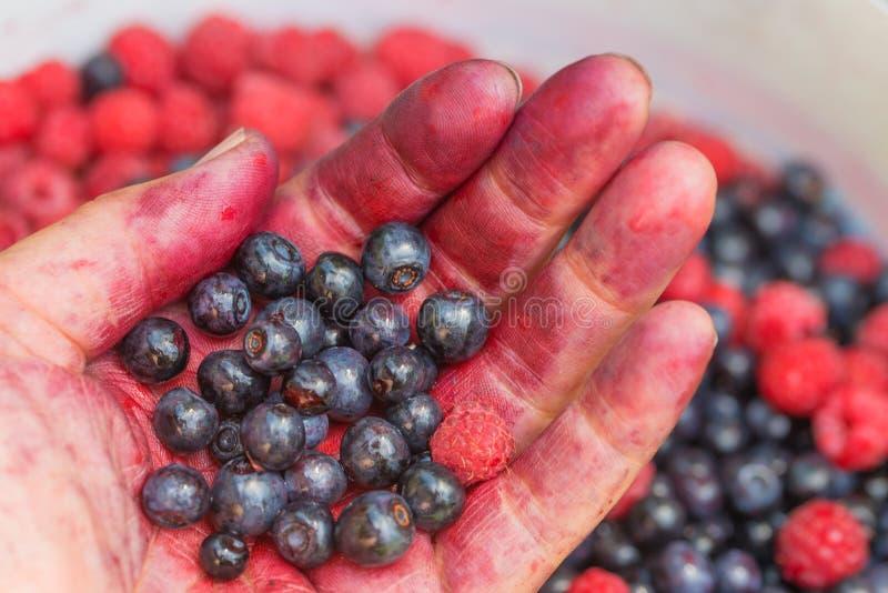 Kvinnans hand fyllde med själv valde blåbär och hallon, oskarp trädgårdbakgrund fotografering för bildbyråer